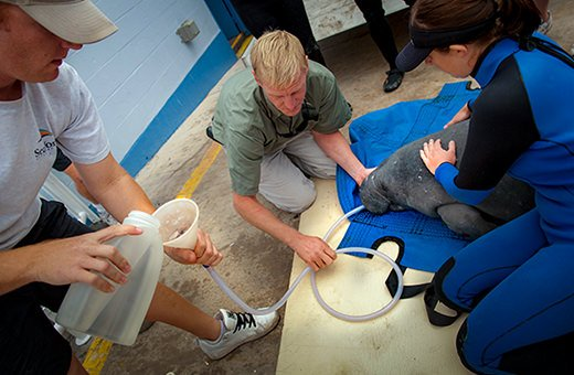 A rescue team feeds a young manatee