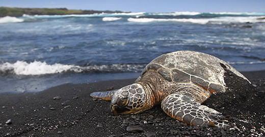 a sea turtle lies on a black sand beach