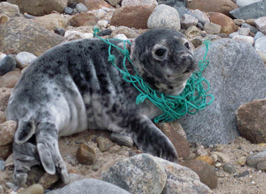 A baby seal with a piece of net around its neck
