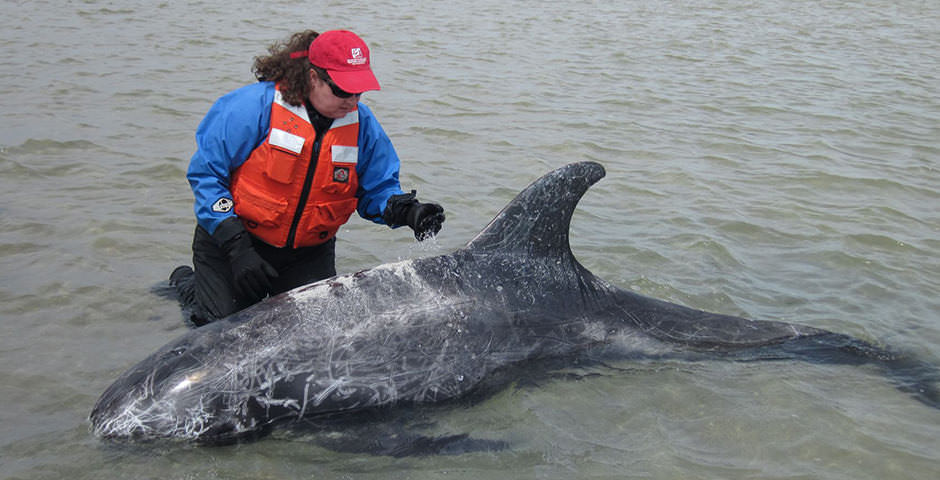 A rescue staff member inspects a stranded dolphin in shallow water
