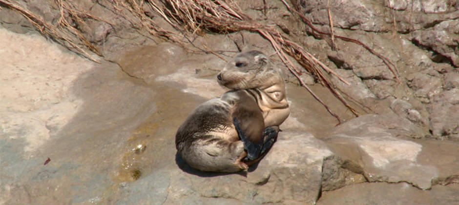 a stranded young pinniped
