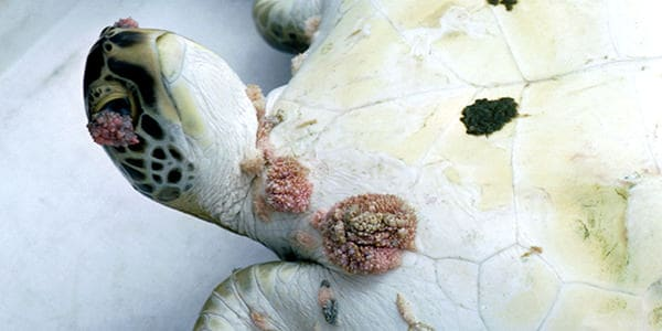 A green sea turtle with tumorous growths on the skin called fibropapillomas.