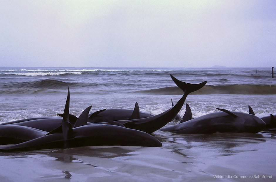 A large group of stranded dolphins on a beach