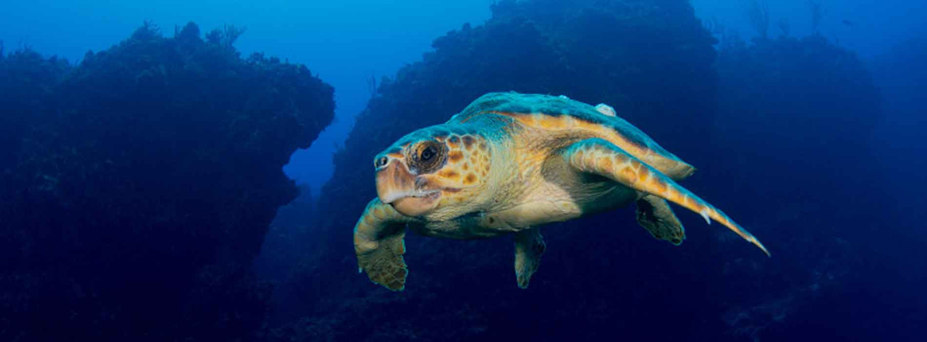Sea turtle underwater in a coral reef