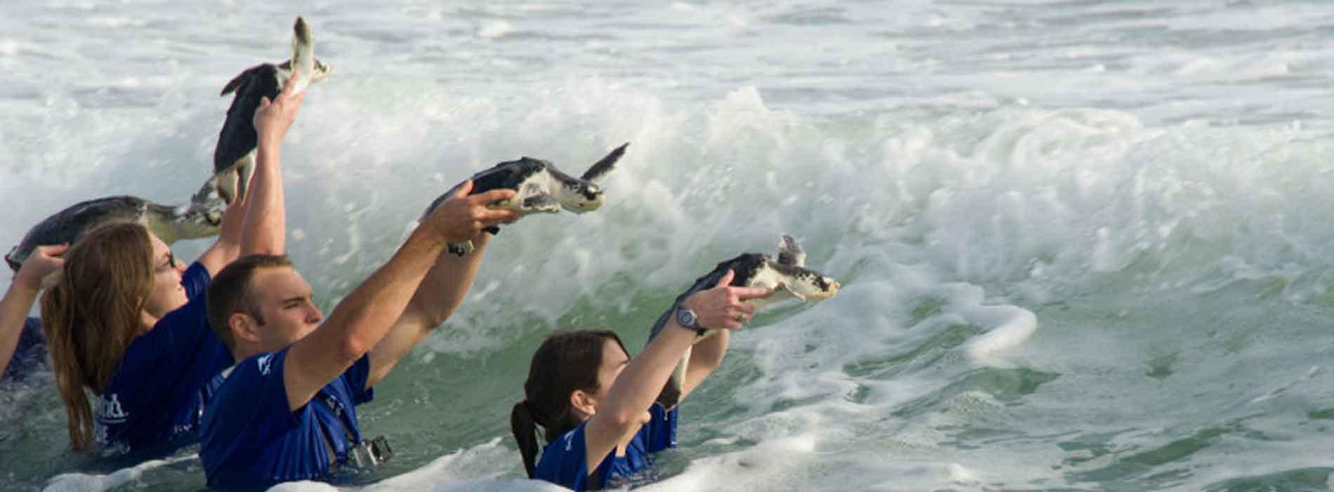 Releasing three sea turtles in the waves