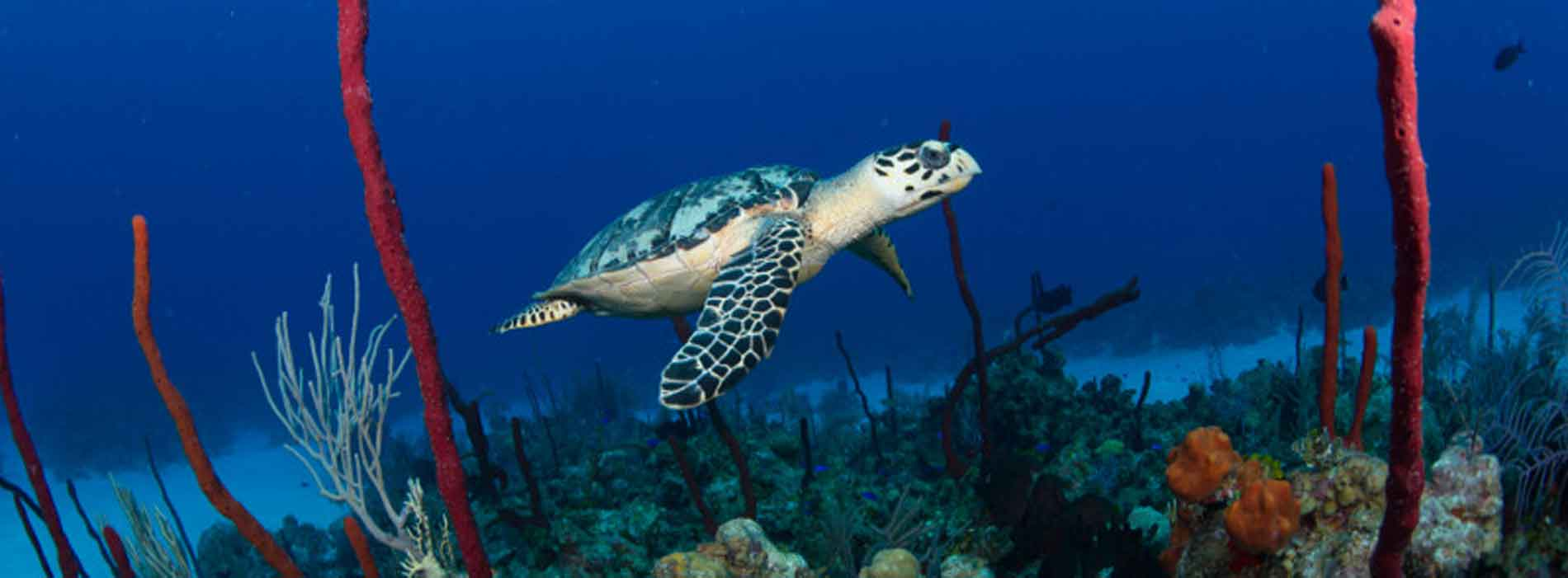 Sea turtle swimming in coral reef