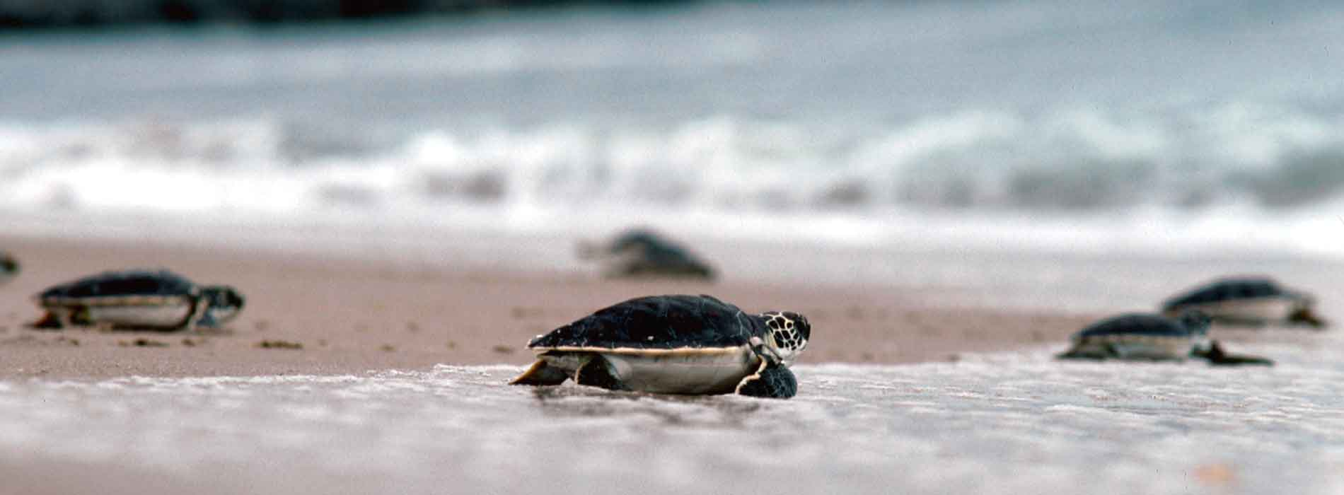 Sea turtle hatchlings scurry to the water