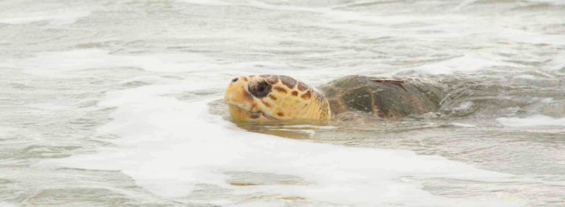 Sea turtle in shallow water