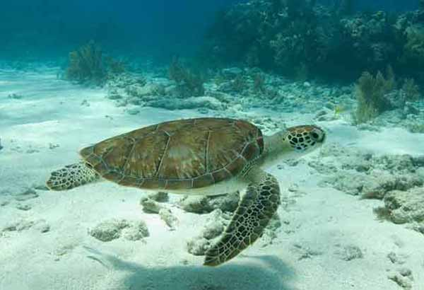 Sea turtle swimming over sand