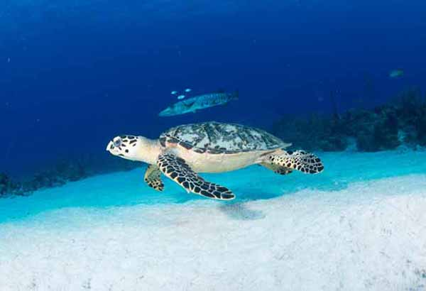 Sea turtle and barracuda