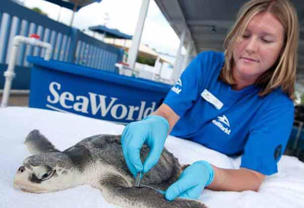 Rescued juvenile sea turtle