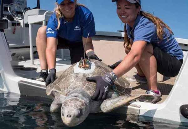 Sea turtle with satellite tag