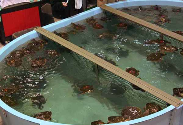 Many rescued sea turtles
