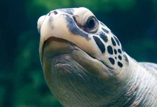 Green sea turtle's mouth