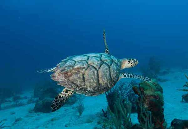 Sea turtle swimming in a coral reef