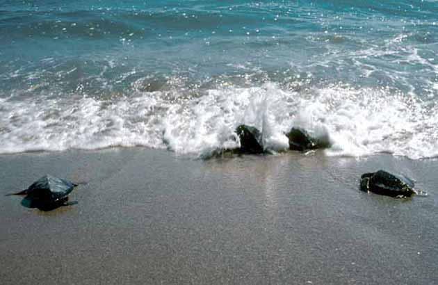 Baby sea turtles entering the surf