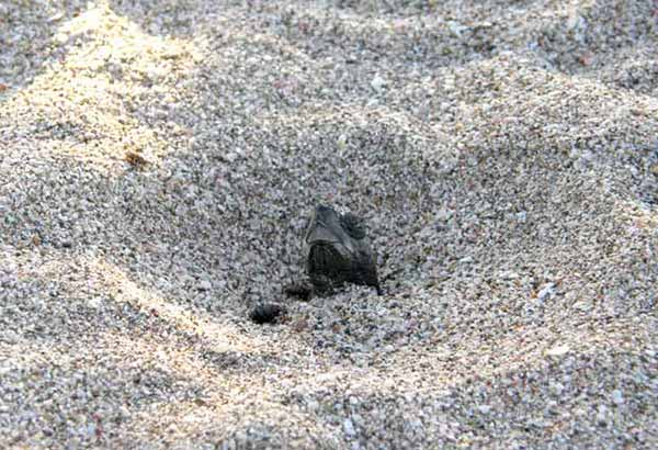 Sea turtle hatchling emerging from the nest
