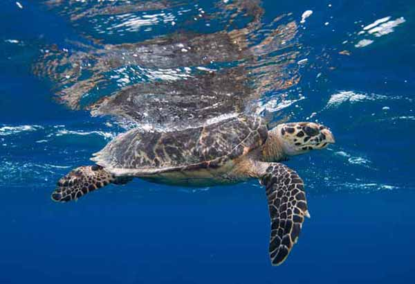 Sea turtle hatchling swimming