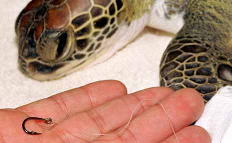 Sea turtle and removed fishing hook
