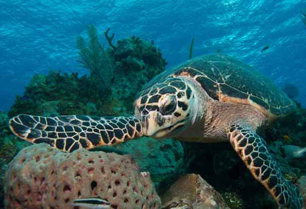 Sea turtle in a shallow coral reef