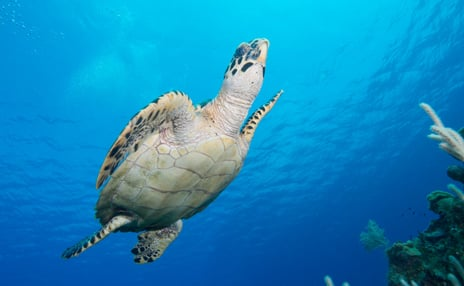 Sea turtle swimming to the surface