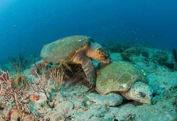 Sea turtle courtship