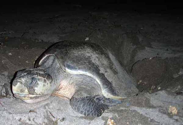 Female sea turtle laying eggs