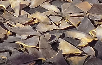 A pile of cut-off shark fins.