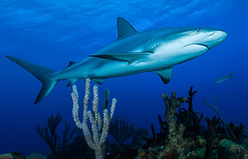 A shark swims over a reef