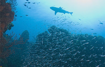 A distant shark swims behind a school of fish above a reef.