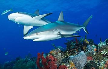 两条鲨鱼游了低浅水礁