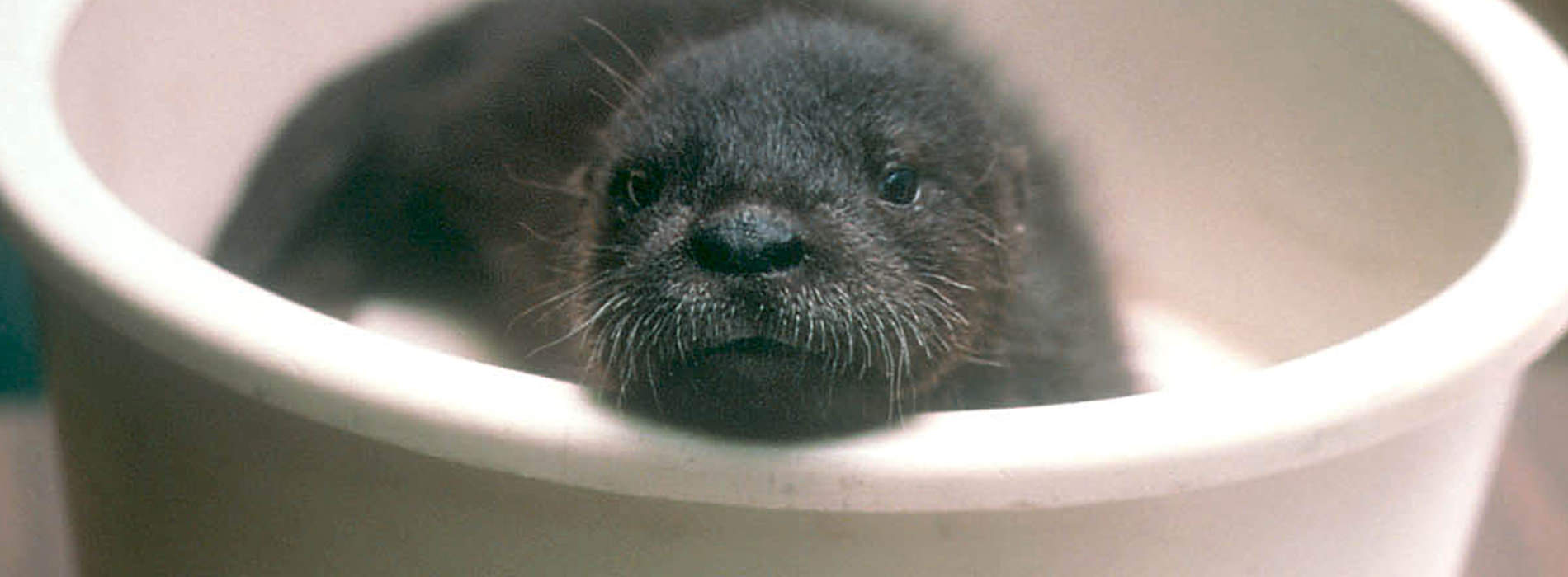 Baby otter resting in his water dish