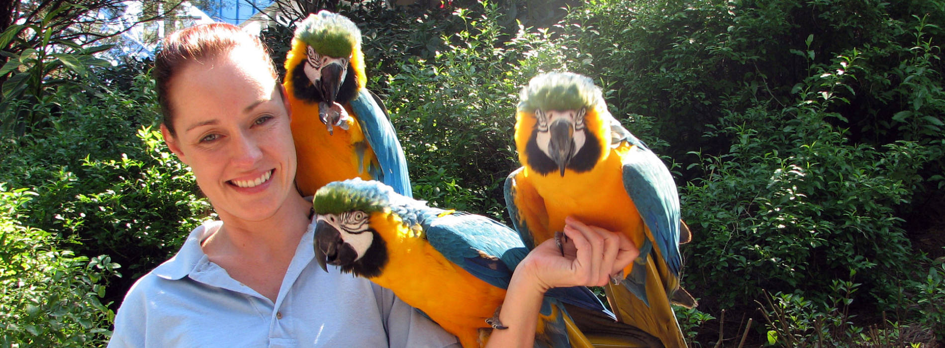 Girl smiling while holding three blue and gold macaws on one arm