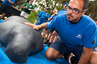 Rescue team member with manatee