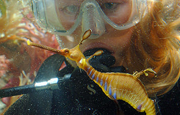 scuba diver looking at seahorse underwater