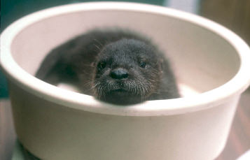 Otter being weighed
