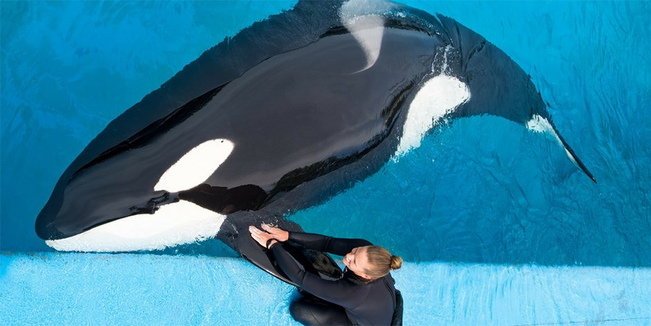 A trainer interacts with an orca at the edge of a pool