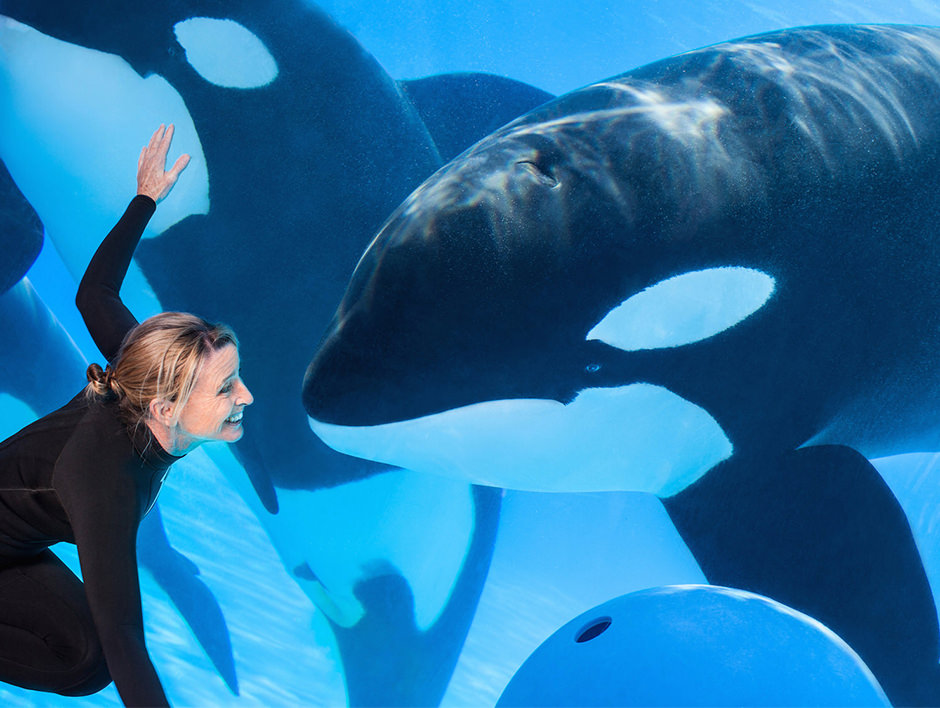 A trainer observes two orcas through the glass wall of a tank