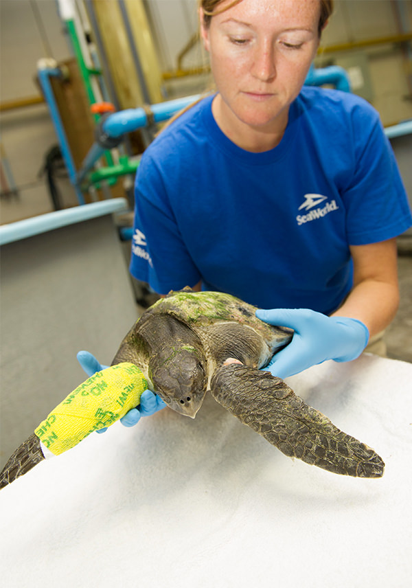 A rescue team member holds a sea turtle with a cast on its left pectoral flipper