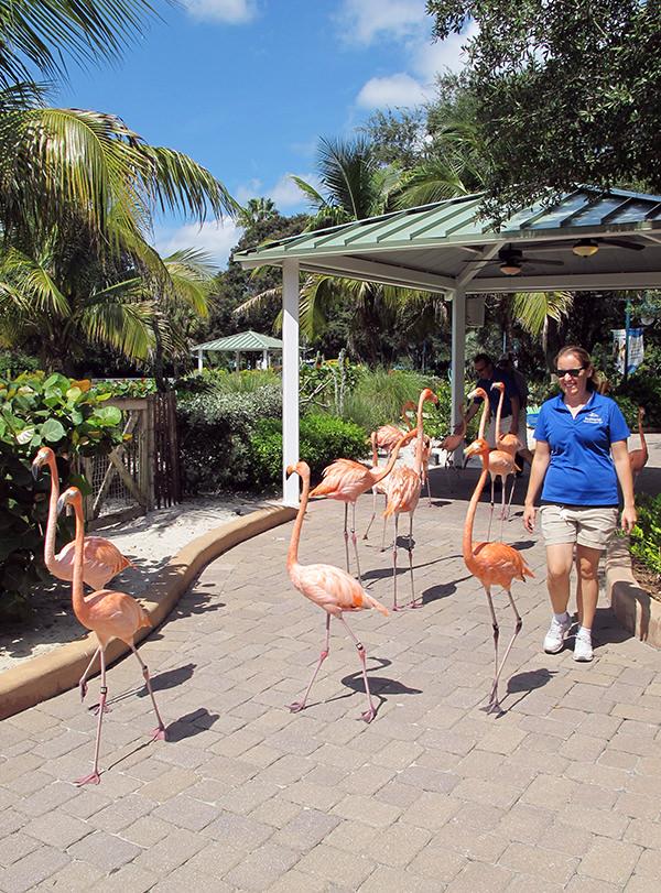 An aviculturist walks around flamingos