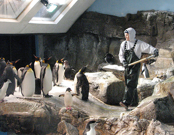 An aviculturist shovels ice in a penguin habitat