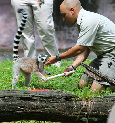 A zoo employee plays with a lemur