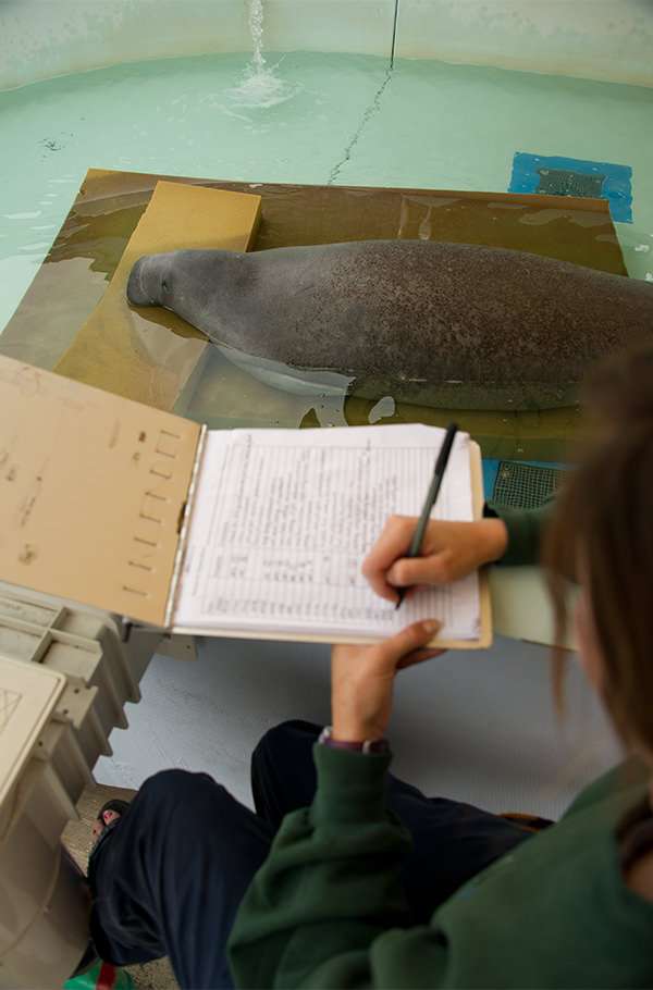 A researcher takes notes while observing a manatee in a pool