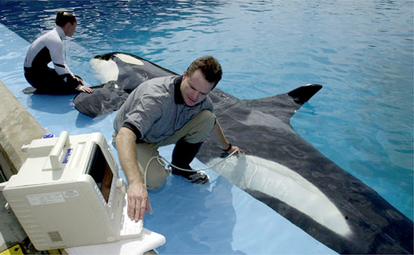 A veterinarian examines an orca at the edge of a pool