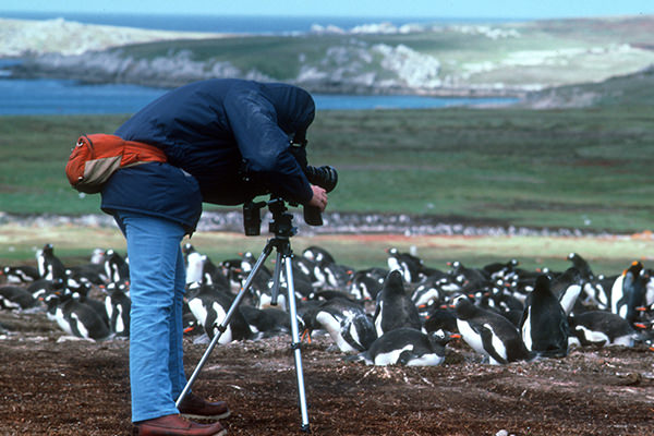 A researcher photographs a group of penguins with a grassy coastal landscape in the background