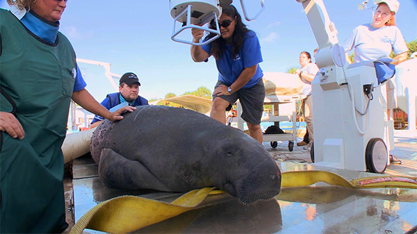 Veterinarians take x-ray images of a manatee using a portable machine