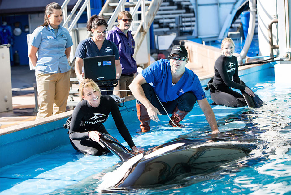 Veterinarians perform ultrasound tests on an orca at the side of a pool.