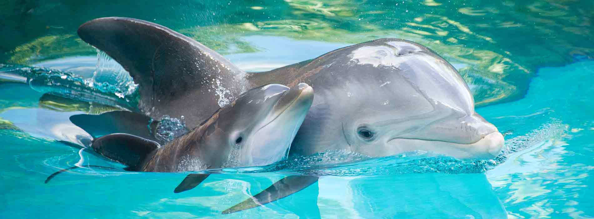Mother dolphin and calf swimming along side