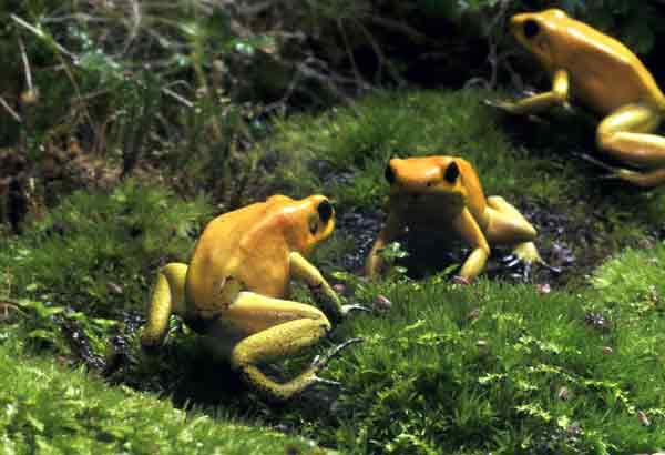 Three golden tree frogs