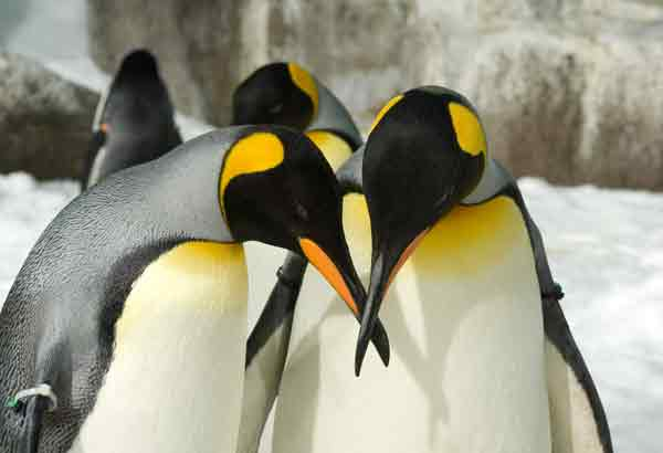 King penguins doing a courtship bow